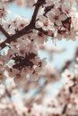 Spring blossom pink on the tree close up Royalty Free Stock Photography