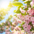 Spring blossom of purple sakura Stock Photography