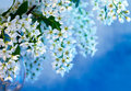 Spring blossoming bird cherry tree on a blue bckground Stock Photography