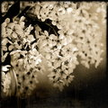 Spring blossoming bird cherry tree in sepia tone on a blue bckground old photo Royalty Free Stock Photos