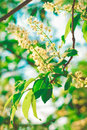 Spring Blossoming on the Chestnut Tree,Green Sunny Evening Glow Haze,Nature Garden,Toned Royalty Free Stock Photo