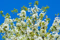 Spring blossoming tree