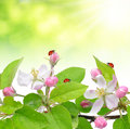 Spring blossoms apple tree with ladybugs Stock Images