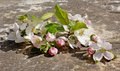Spring blossoms on dark stone background still life photo of a bunch of peach tree blossom white flowers lying a best suited for Stock Photo
