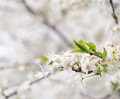 Spring blossoms white and green leaves Royalty Free Stock Photography