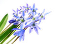 Spring blue bells - scilla flowers isolated Royalty Free Stock Photography