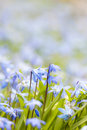 Spring blue flowers glory of the snow background with early and copy space for text Royalty Free Stock Photo