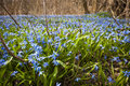 Spring blue flowers glory of the snow a carpet early blooming in abundance on forest floor ontario canada Royalty Free Stock Image