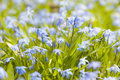 Spring blue flowers glory of the snow closeup early blooming in sunny springtime meadow Stock Image