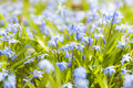 Spring blue flowers glory of the snow closeup early blooming in sunny springtime meadow Stock Images