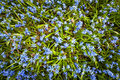 Spring blue flowers glory of the snow early blooming in sunny springtime meadow view from above Stock Photography