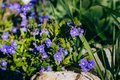 Spring blue forget-me-nots flowers posy