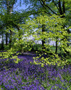 Spring in a Bluebell wood Stock Photos