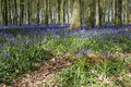 Spring bluebell woods english countryside Royalty Free Stock Photos