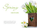 Spring bouquet fresh white tulips wicker basket isolated close up ready template Stock Photos