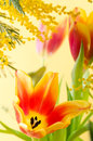 Spring bouquet mimosa tulips Stock Photography