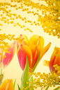 Spring bouquet mimosa tulips Stock Images