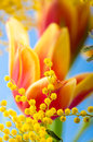 Spring bouquet mimosa tulips Royalty Free Stock Photos
