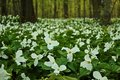 Spring bouquet wild snow trillium carpet the forest floor an annual sign that has arrived in the great north woods lakeport state Royalty Free Stock Photos