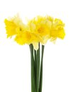 The spring bouquet of yellow narcissuses isolated on white Royalty Free Stock Photo