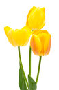 Spring bouquet of yellow tulips on the white background Royalty Free Stock Photography