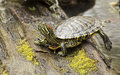 Spring Box Turtle steps on a log. Royalty Free Stock Photo