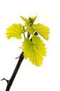 Spring branch of grape vine with fresh green leaves isolated on white background Royalty Free Stock Photo