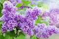 Spring branch of lilac flowers, natural background, lovely landscape of nature Royalty Free Stock Photo