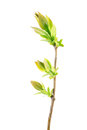 Spring branch of lilac with young leaves isolated on white Royalty Free Stock Photo