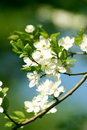Spring branch of a tree, with blossoming white sma Royalty Free Stock Photos