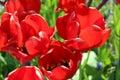 Spring breeze through a tulip garden Royalty Free Stock Photo