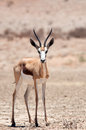 Spring buck a kalahari desert south africa Royalty Free Stock Photo