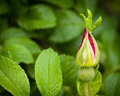 Spring bud getting ready to open Stock Image