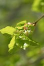 Spring bud of lime tree Royalty Free Stock Photo