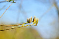 Spring buds pussy willow beautiful on tree Stock Photos