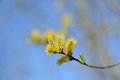 Spring buds pussy willow yellow tree on blue background Royalty Free Stock Photo
