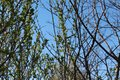 stock image of  Spring came, Spring mood, the first leaves on the tree. Young foliage.
