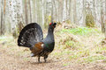Spring, capercaillie on a lek Royalty Free Stock Photo