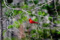Spring cardinal male eating an insect while perched on a tree branch in Stock Photo