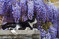 The spring and cat a european sitting under wisteria flowers Royalty Free Stock Images