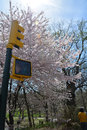 Spring in central park blossom with a traffic light the foreground Stock Image