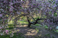 Spring in central park crab apple tree new york city Royalty Free Stock Photo