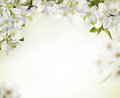 Spring cherry blossom backgrounds copy space for your text Stock Photos