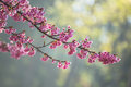 Spring cherry blossoms in the garden Royalty Free Stock Image