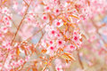 Spring cherry blossoms in garden Royalty Free Stock Image
