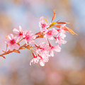 Spring cherry blossoms in garden Stock Images