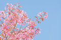 Spring cherry blossoms with sky Royalty Free Stock Image
