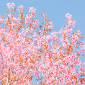 Spring cherry blossoms with sky Stock Image
