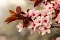 Spring cherry branch blooming closeup Stock Image
