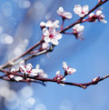 Spring cherry white flower on blue sky background. Royalty Free Stock Photo